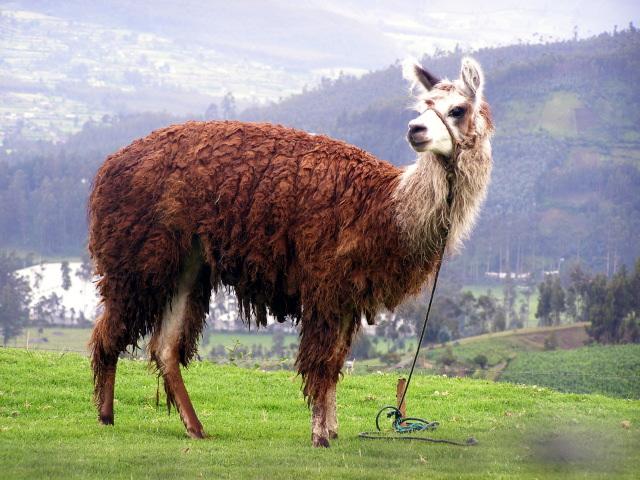 Ecuadorian llama