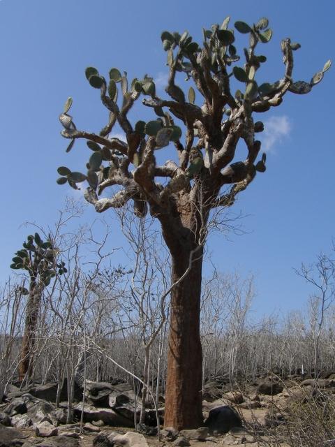 A giant cactus